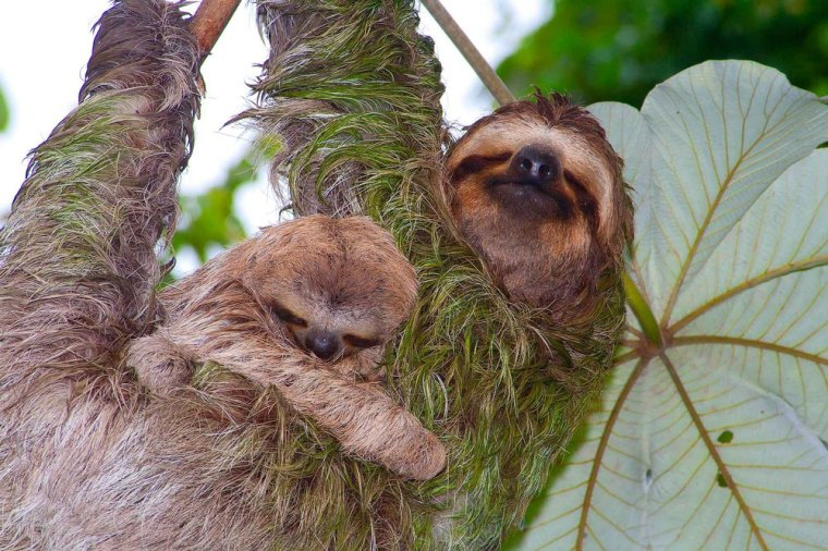 sloths-on-cecropia-tree-manuel-antonio.jpg